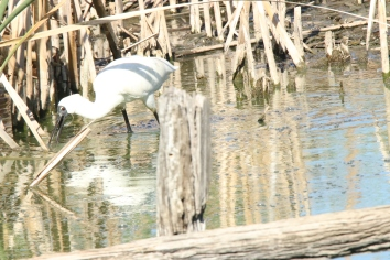 Spoonbill, royal 2
