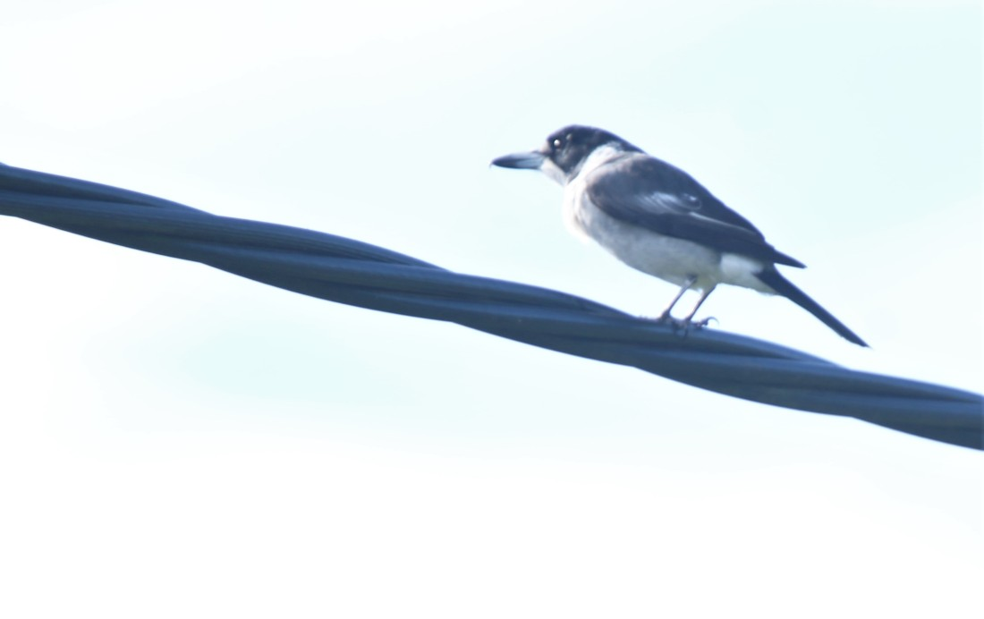 Butcherbird, Grey