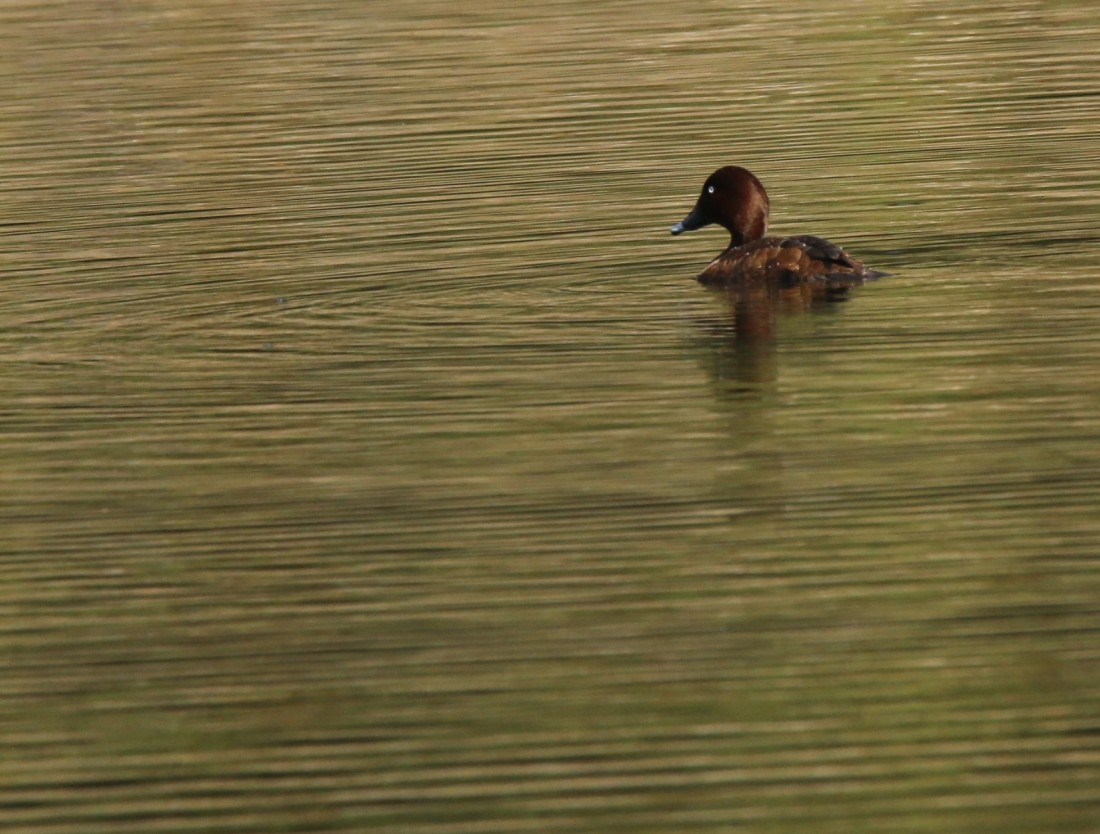 Duck, Hardhead