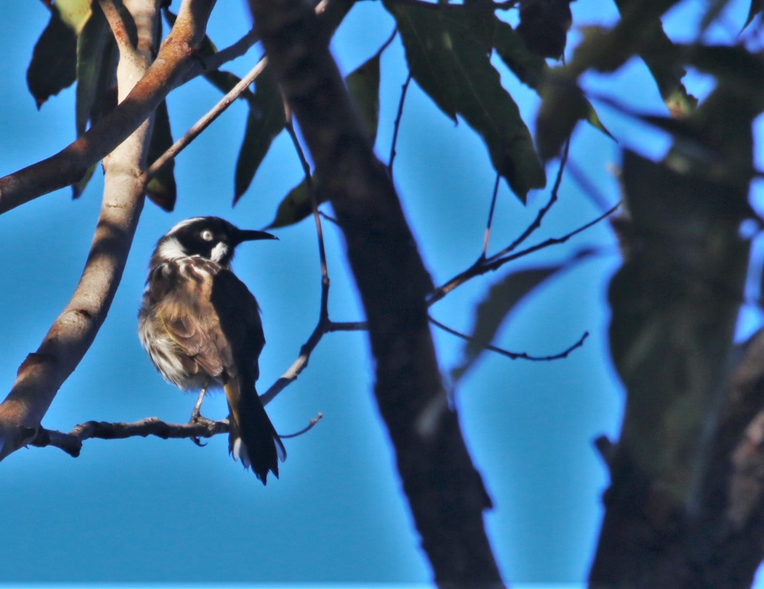 Honey-eater, New Holland