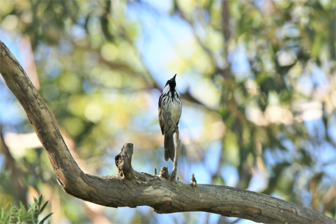 Honeyeater, White-cheeked (2)