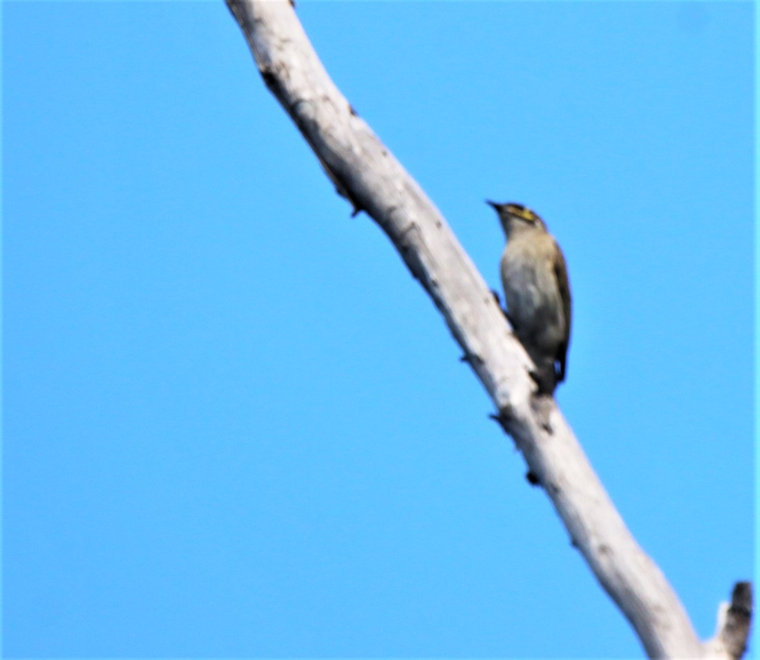 Honeyeater, Yellow-faced (2)