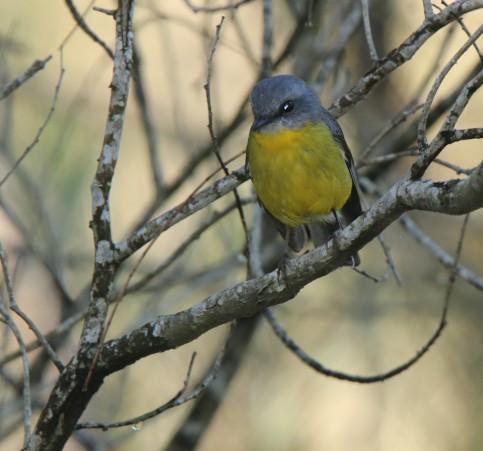 Robin, Yellow 3