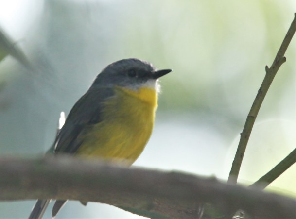 Robin, Yellow