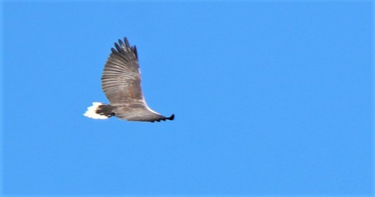 Sea-eagle, White Bellied 2