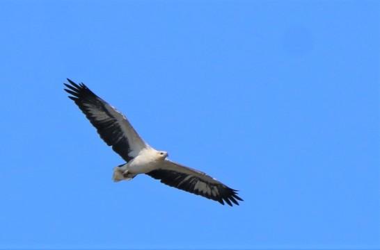 Sea-eagle, white-bellied 3