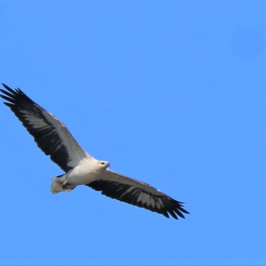 Sea-eagle, white-bellied 3