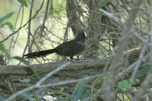 Whipbird, Eastern fem