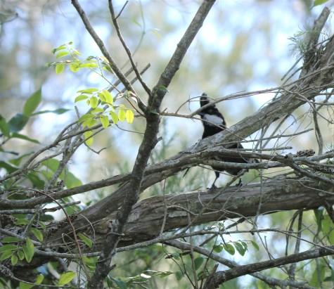 Whipbird, Eastern male