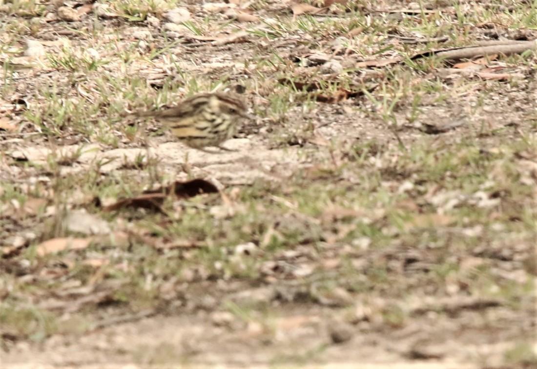 Warbler, Speckled f