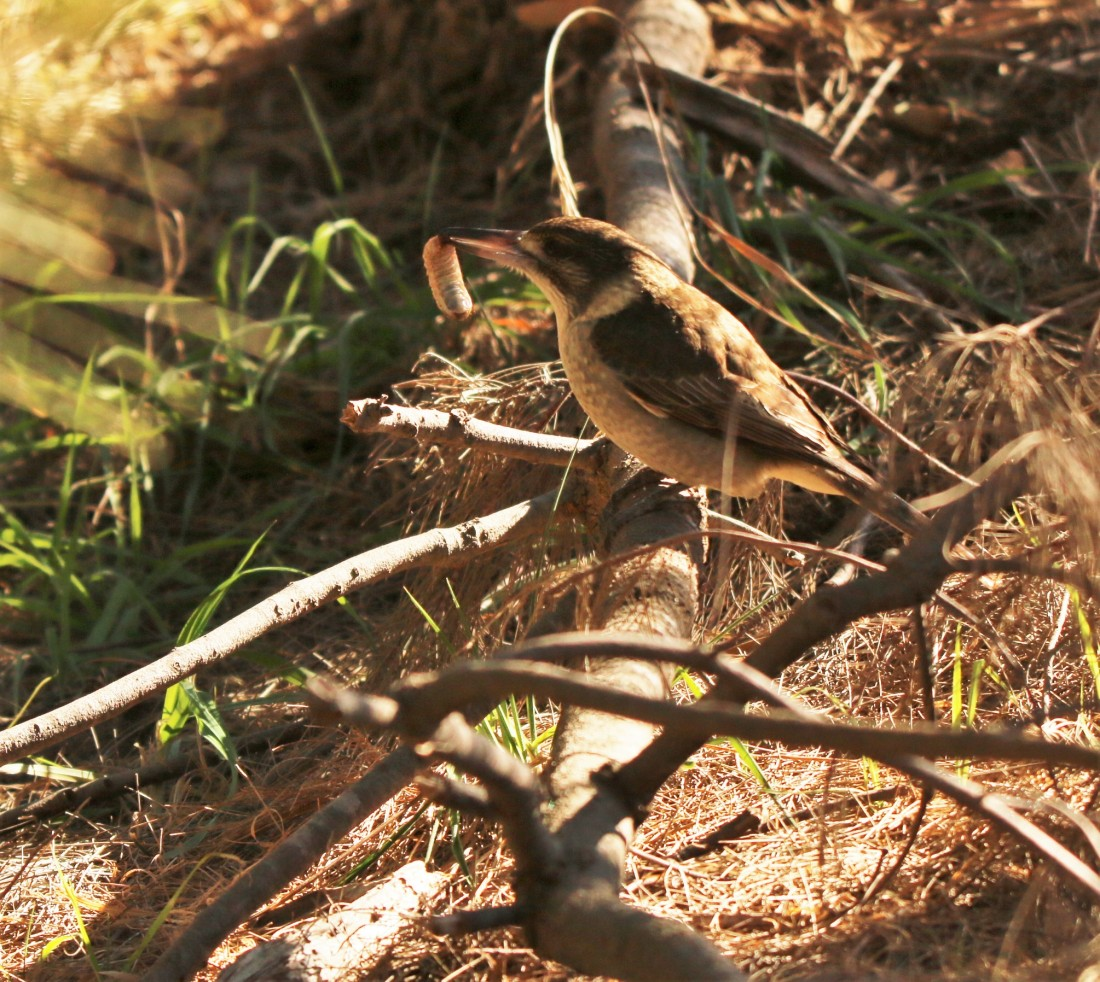 Butcherbird, Grey (juv)