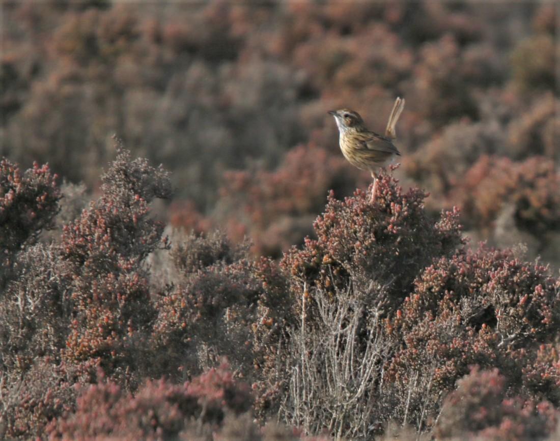 Grassbird, Little