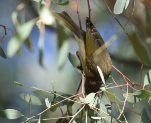 Honeyeater, Fuscous 5