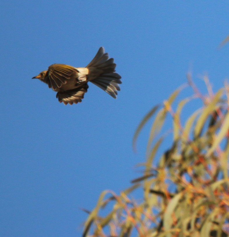 Honeyeater, Fuscous