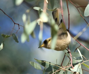 Honeyeater, Fuscous2