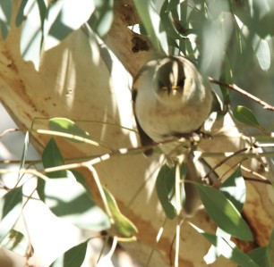 Honeyeater, Fuscous3