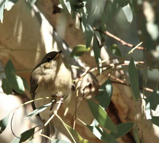 Honeyeater, Fuscous4