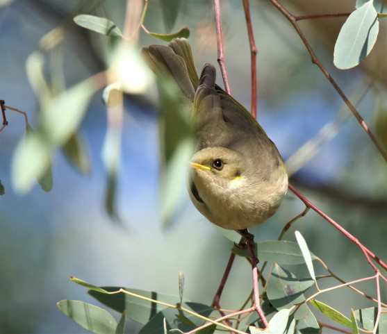 Honeyeater, Fuscous6