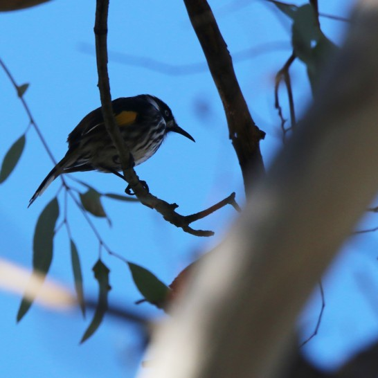 Honeyeater, New Holland