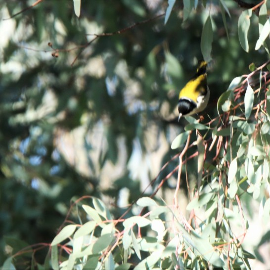 Honeyeater, White-naped 2