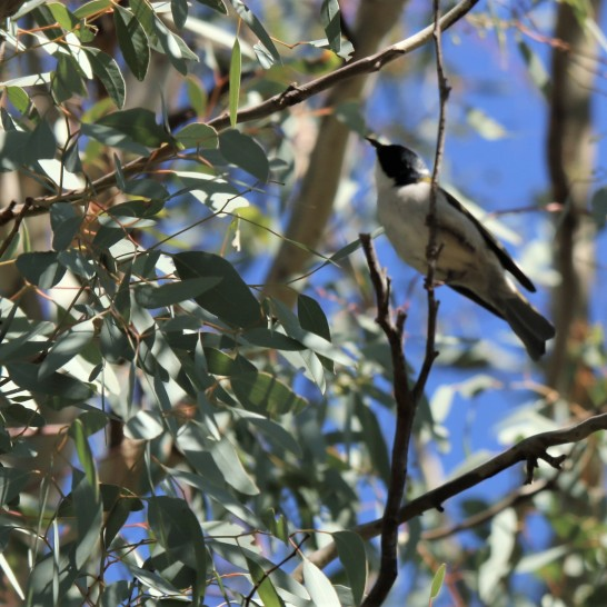 Honeyeater, White-naped