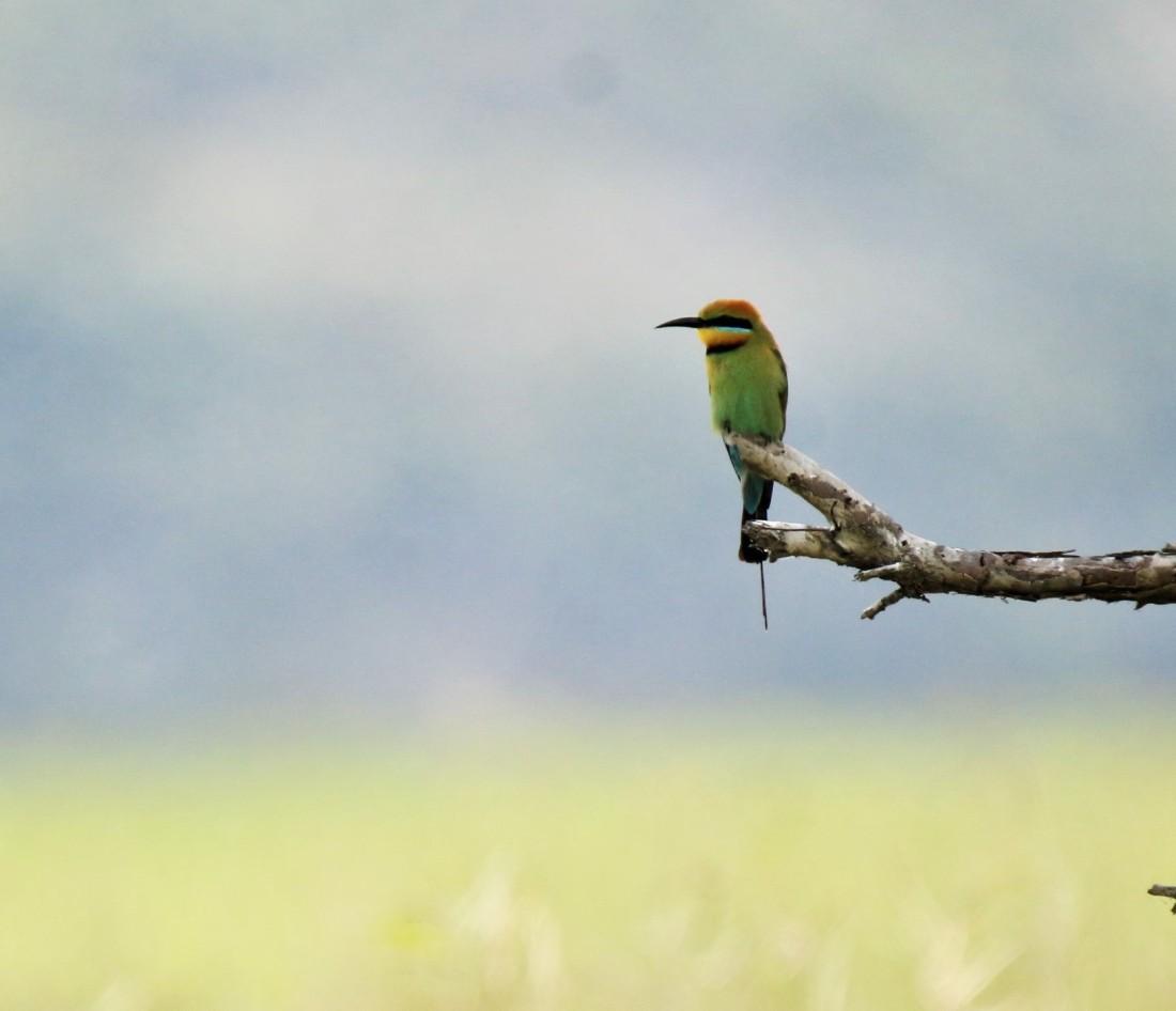 Bee-eater, Rainbow