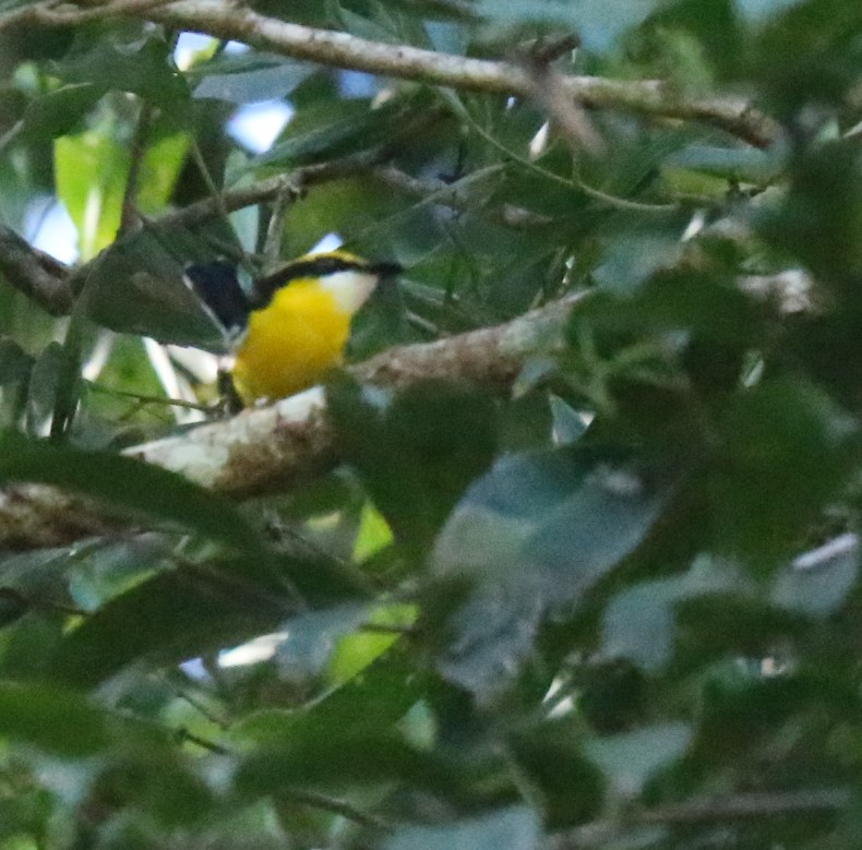 Boatbill, Yellow-billed