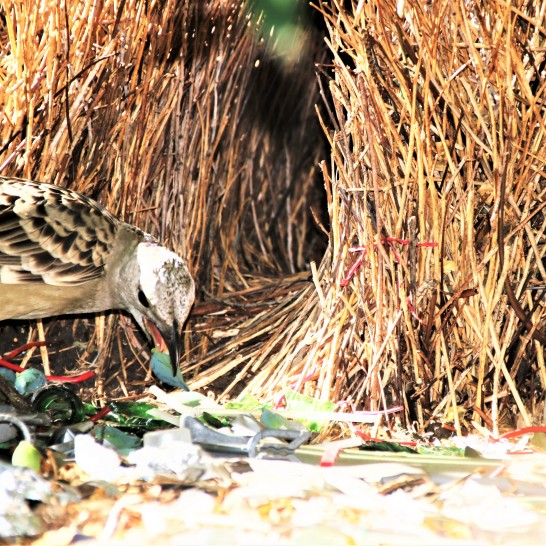 Bowerbird, Spotted m