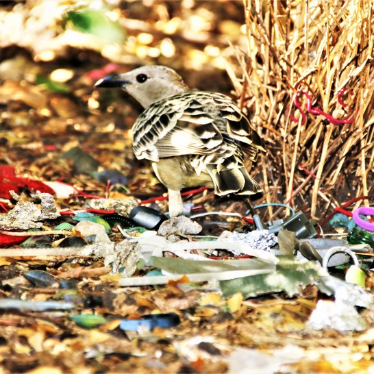 Bowerbird, Spotted3