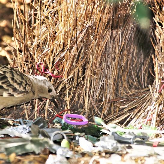 Bowerbird, Spotted4