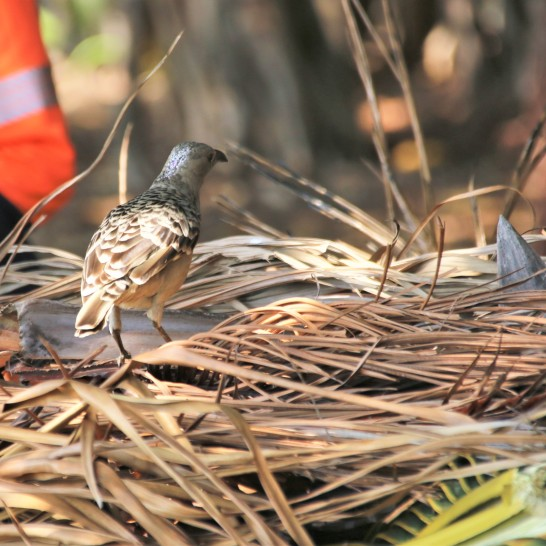 Bowerbird, Spotted5