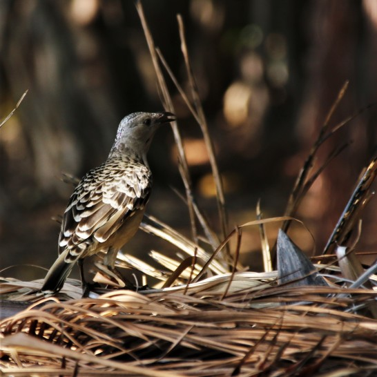 Bowerbird, Spotted6