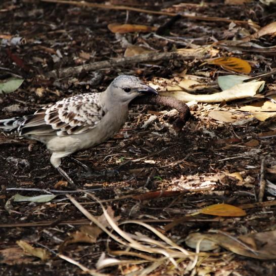 Bowerbird, Spotted7