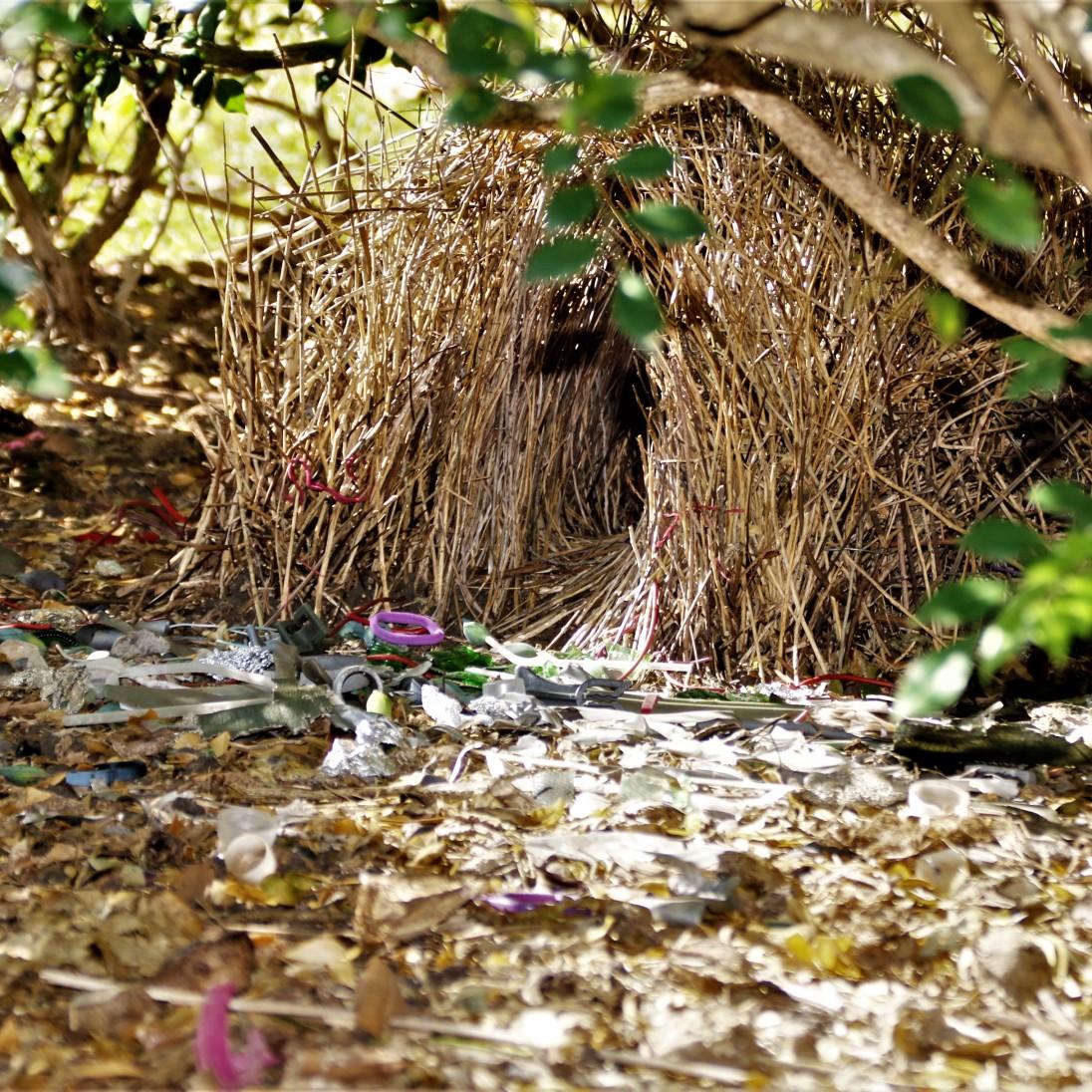 Bowerbird,Spotted2