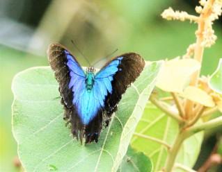 Butterfly, Ulysseys 2