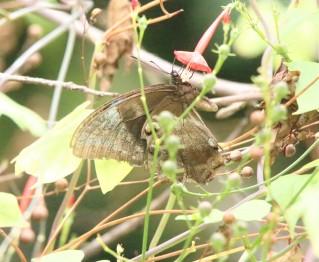 Butterfly, Ulysseys