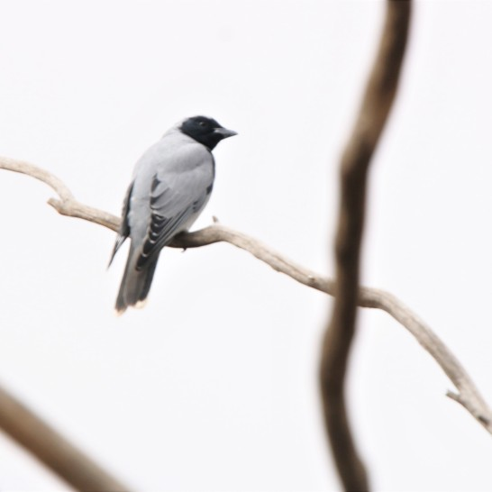 Cuckoo-Shrike, Black-faced