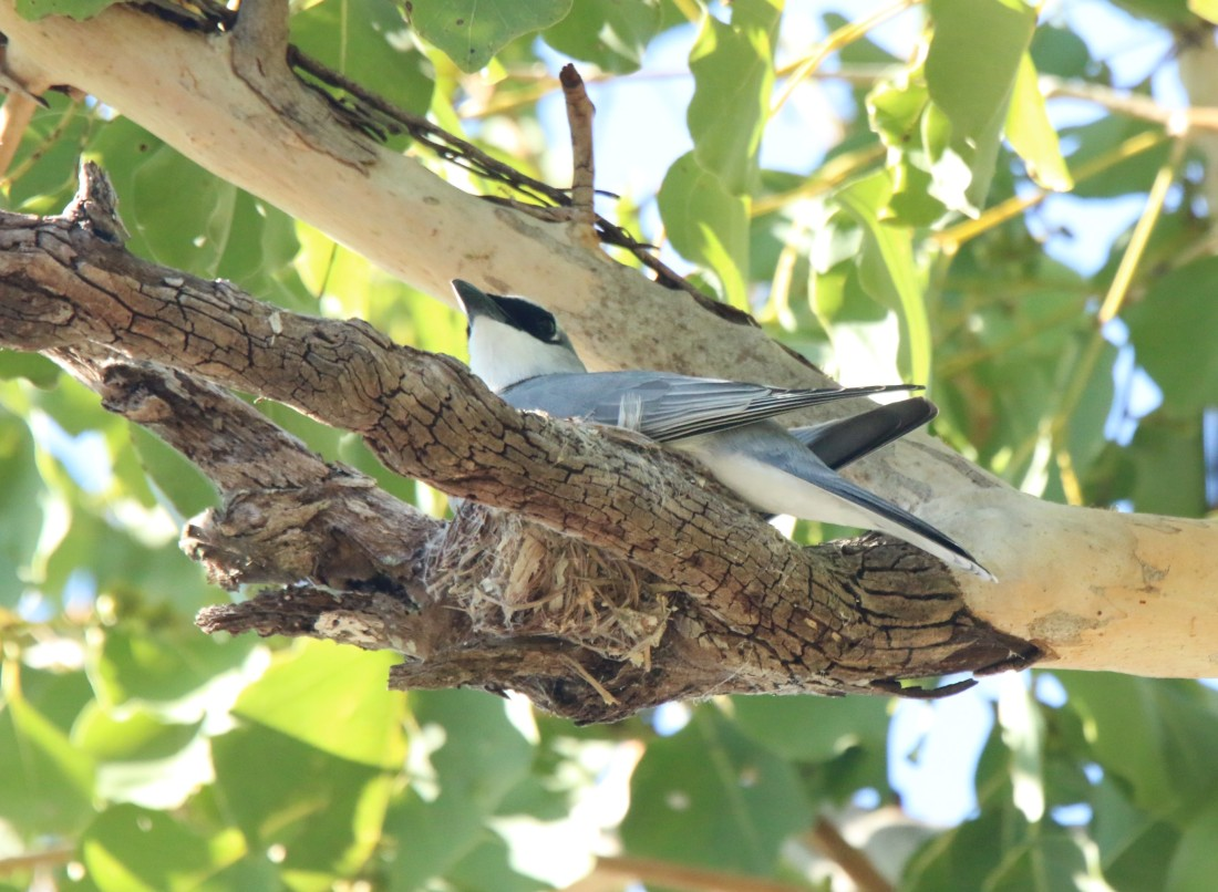 Cuckoo-Shrike, White-breasted