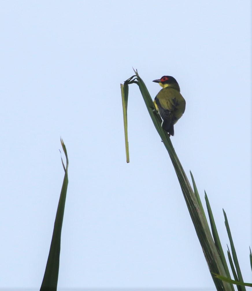Figbird, Australasian m raceflaviventris