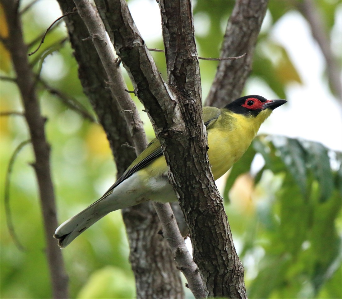 Figbird, australian m