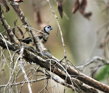 Finch, Double-barred