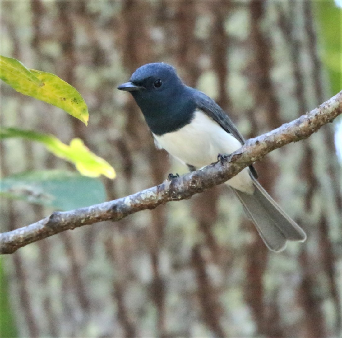 Flycatcher, Leaden