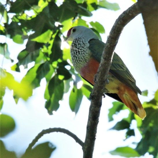 Fruit-dove, Rose-crowned