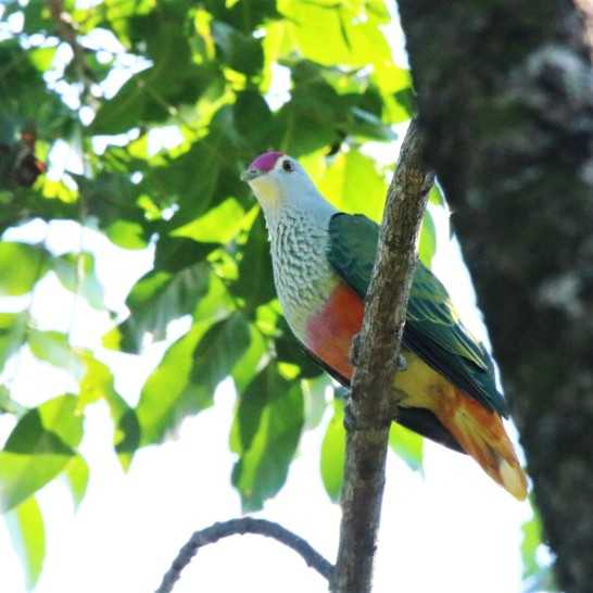 Fruit-dove, Rose-crowned2