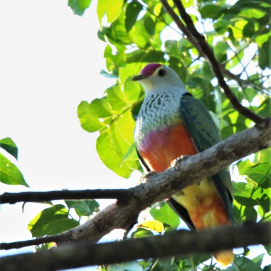 Fruit-dove, Rose-crowned6