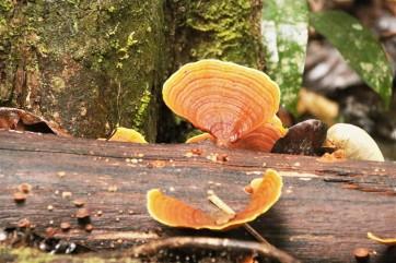 Funghi, Daintree