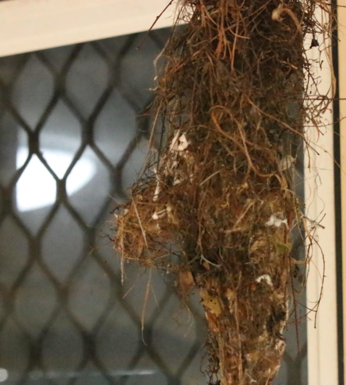 Gerigone, Big-billed nest