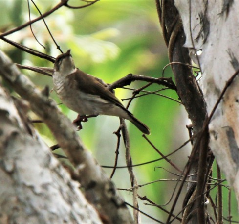 Honeyeater, Brown backed