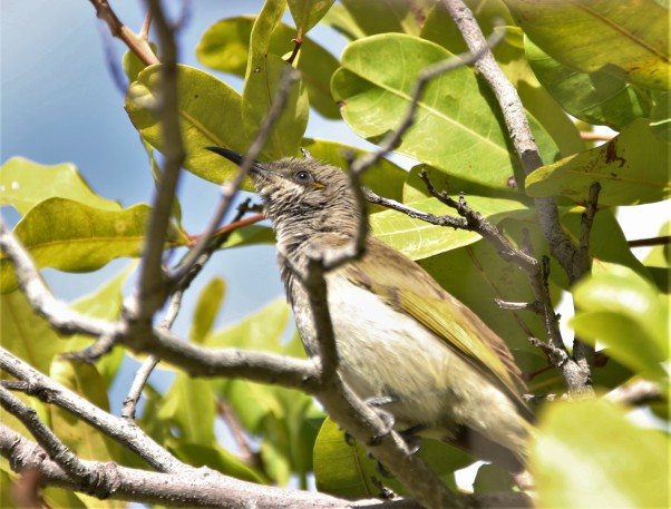 Honeyeater ,Brown r ocularis