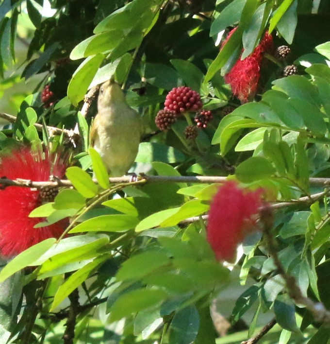Honeyeater, Graceful2